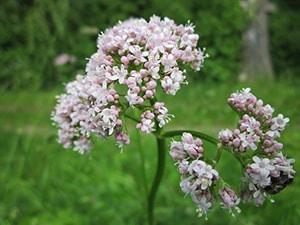 Valeriaan plant