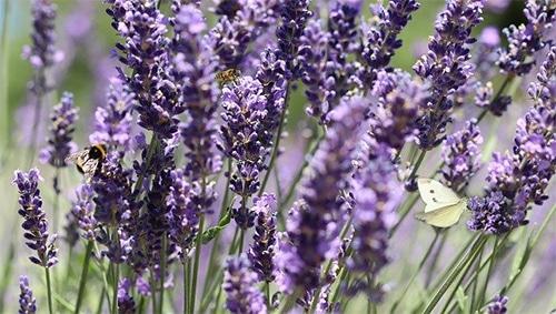 Beter slapen dankzij lavendel