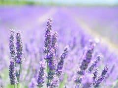 Beter slapen door lavendel
